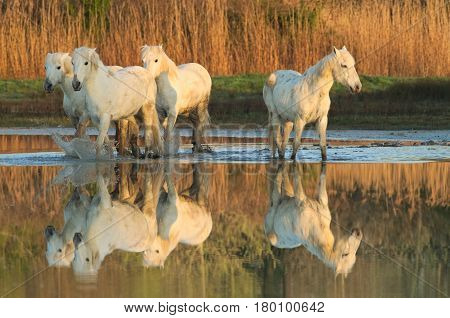 Camargue horses and their reflection in calm water of a pond