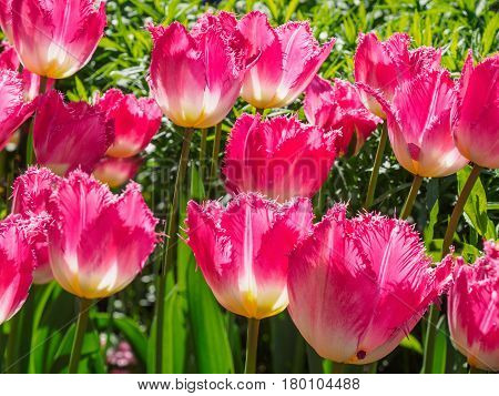 Field of fringed pink tulips for a spring-themed background close-up