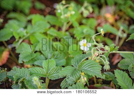 Strawberry blossoms with leaves in early spring time. Organic strawberry fields. Close up. Selective focus.