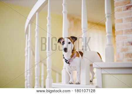Small, Thoroughbred, Black And White Brown Dog In The House