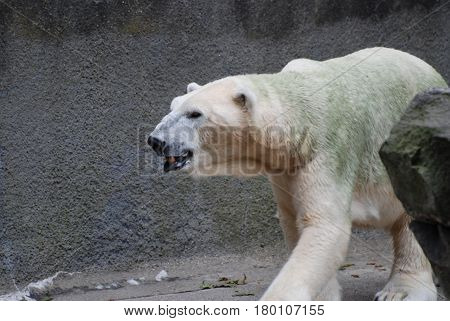 Polar bear that has some algae growing in his fur.
