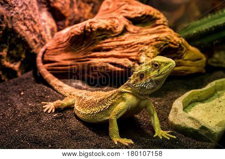Uzhhorod Ukraine - March 26 2017: Bearded agama in terrarium during an exhibition of terrarium animals.