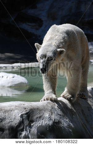Polar bear pacing and balancing along an edge.