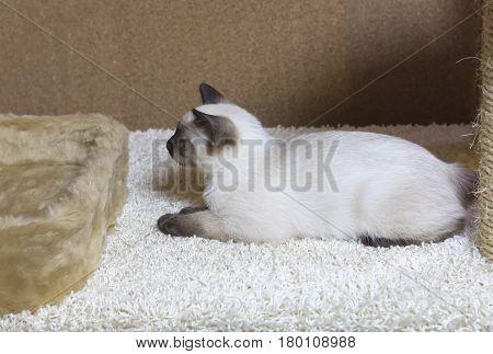 sleek haired kitten of Siamese type (Mekong bobtail tailless)