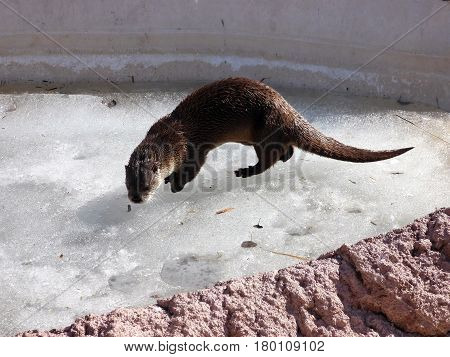 An otter checking out the early spring ice.