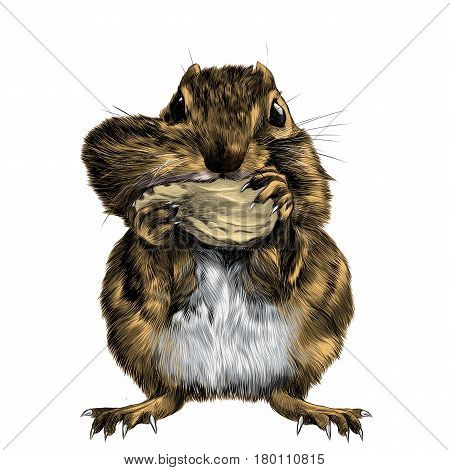 Chipmunk stands and shoves the nut for the cheek a big swollen cheek sketch vector graphics color picture