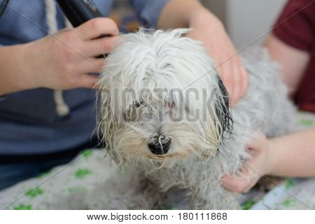 White dog at the dog hairdresser - closeup Havanese