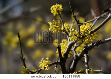 Yellow blossom at cornelian cherry dogwood (Cornus mas) an early spring flowering shrub or hedge plant for the natural garden nectar source close up with selected focus and narrow depth of field