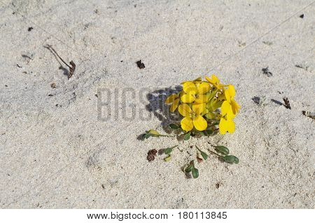 Menzie's wallflower (Erysimum menziesii) one of the rarest plants in the world grows in pure sand at Asilomar Dunes Natural Preserve in Pacific Grove California