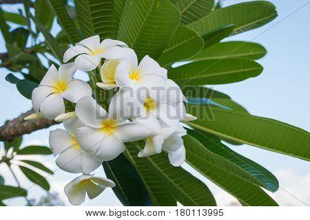 Plumeria Vintage Tone on the plumeria tree frangipani tropical flowers.White plumeria.Plumeria flowers.Vintage Filter Effect.White plumeria on the plumeria tree. Plumeria flower.