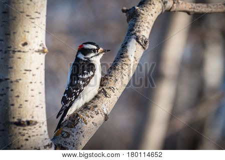 Downy Woodpecker perched on a tree branch in winter