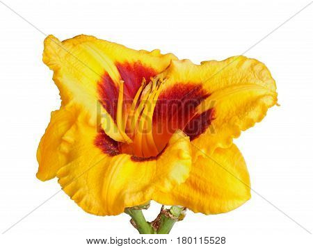 Close-up of a single stem with a red and yellow flower of a daylily (Hemerocallis hybrid) isolated against a white background