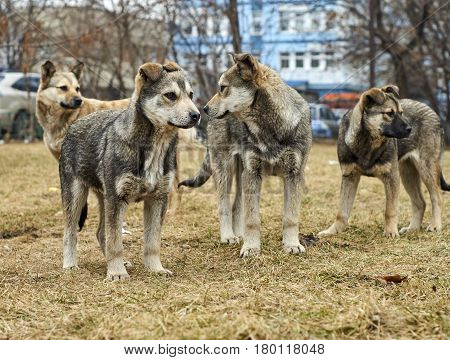 Pack of homeless mongrel dogs standing on dry grass