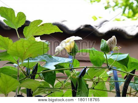 chayote flower climbing on iron home fence