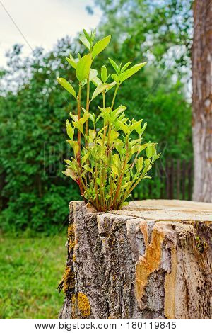 A young tree growing from an old stump