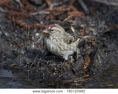Common redpoll sitting on the ground in its habitat