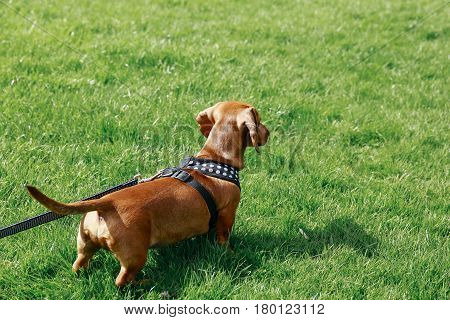 5 months old smooth brown dachshund puppy in a harness standing on the grass in a park, looking ahead.