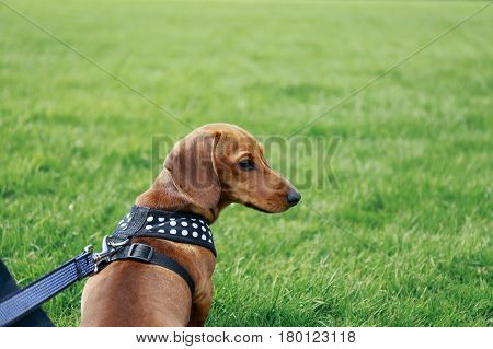 5 months old smooth brown dachshund puppy in a harness sitting on the grass in a park, looking right.