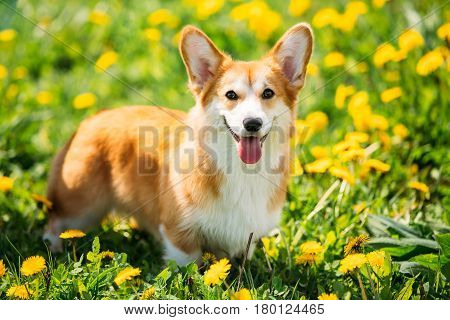 Funny Pembroke Welsh Corgi Dog Puppy Playing In Green Summer Grass. Welsh Corgi Is A Small Type Of Herding Dog That Originated In Wales