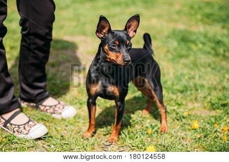 Black Miniature Pinscher Zwergpinscher, Min Pin Standing Near Woman Feets Outdoor In Green Spring Park Meadow. Playful Pet Outdoors