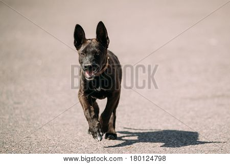 Funny Black Small Size Mixed Breed Puppy Dog Running Outdoor On Road At Sunny Summer Day