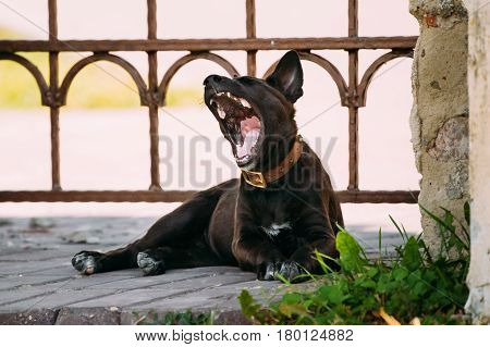 Tired Funny Black Small Size Mixed Breed Puppy Dog Yawning Outdoor