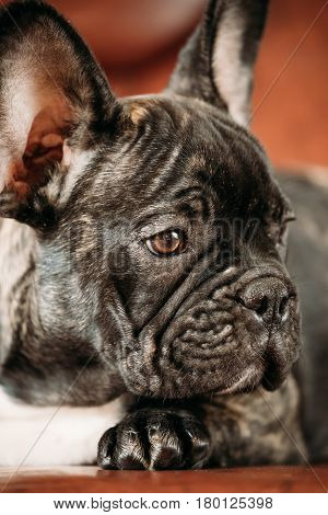 Close Up Potrait Of Young Black French Bulldog Dog Puppy. Funny Dog Baby