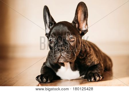 Young Black French Bulldog Dog Puppy With White Spot Sitting On Laminate Floor Indoor Home. Funny Dog Baby