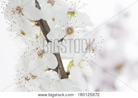Cherry Plum twig on white background (Prunus cerasifera Nigra)