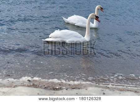 two swans swim in the sea sea-waterfowl