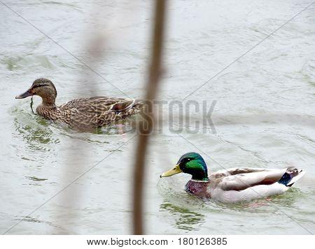 Ducks on the Potomac River near Washington USA March 26 2017