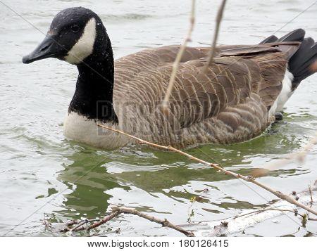 The canadian goose on the Potomac River near Washington USA March 26 2017