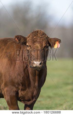 A Red Angus Beef cow on a Minnesota Farm