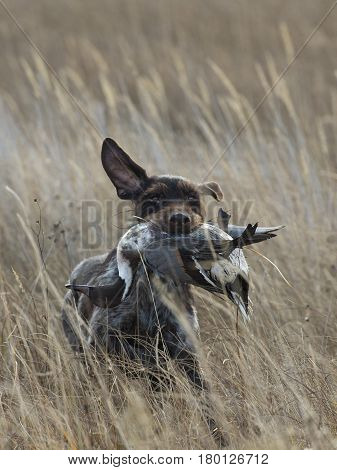 A hunting dog with a Pintail Duck in North Dakota