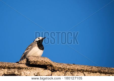 Nice Portrait Of Wagtail Bird On Old Roof