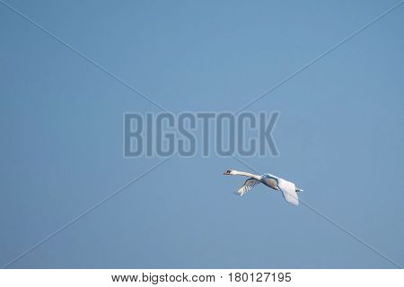 Single Swan Flies With Clear Sky In Background