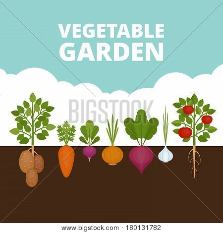 Vegetable Garden Banner. Organic And Healthy Food. Poster With Root Veggies. Flat Style, Vector Illu