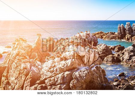 Ocean rocks with brown pelicans in Vina del Mar Chile