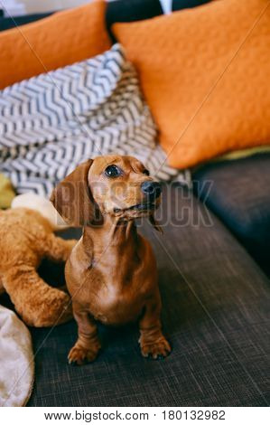 5 months old smooth brown dachshund puppy at home, sitting on a sofa, looking up excitedly waiting for a treat.