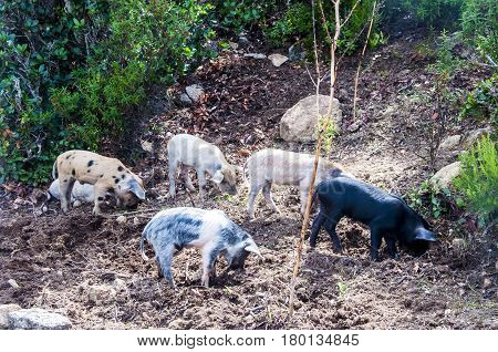 herd of young piglet on hay and straw at sardegna italy sardinia