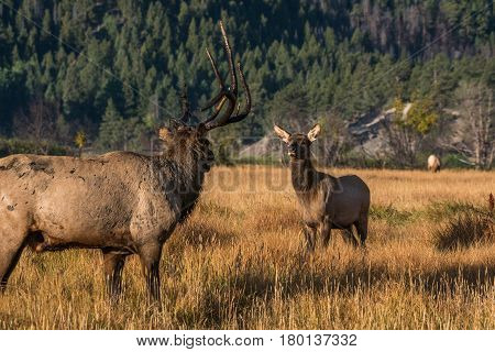 Bull Elk and Calf Staring each Other Down