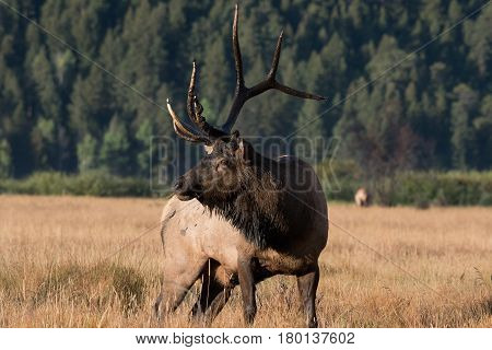 Bull Elk in a Mountain Meadow during the Mating Season