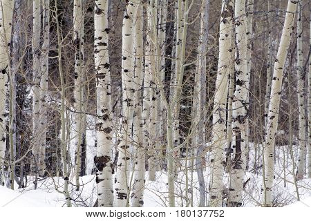 aspen trees in the winter surrounded by snow