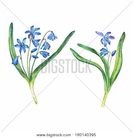 Illustration of  first spring wild flowers - Scilla bifolia blue forest flowers. Hand drawn watercolor painting on white background.