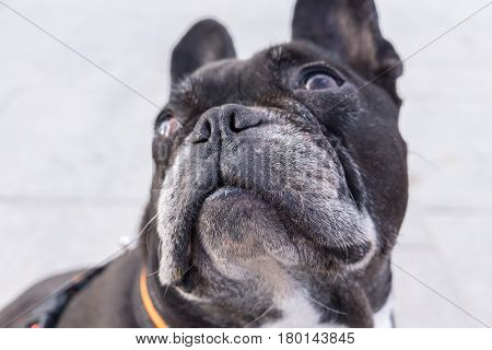 Black french bulldog, looking up. Selective focus on the dog's muzzle. isolated white background