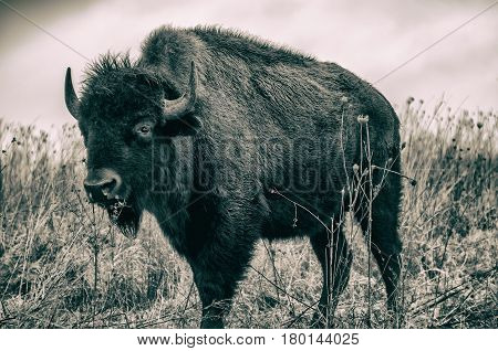 Black and white American Bison standing in the winter grasses of a prairie