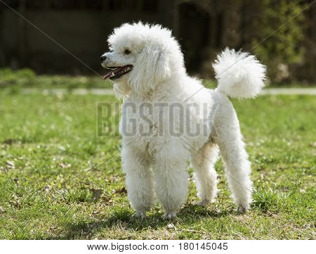 Beautiful white poodle in the grass possing