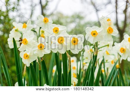 White Daffodils in spring. Close-up of Daffodils.