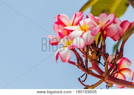 Pink plumeria on the plumeria tree in garden