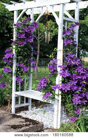 Purple clematis on sides of white arbor with bench